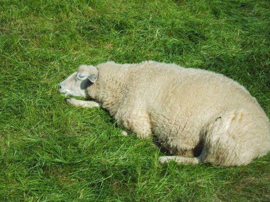 schlafendes Schaf